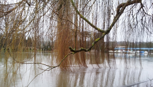 Willows in winter