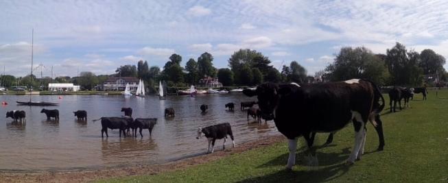 cows cookham